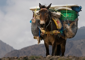 Heavily loaded donkey