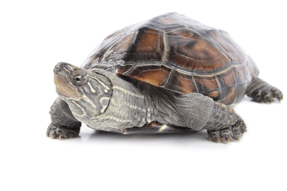 Tortoise indicating lack of speed